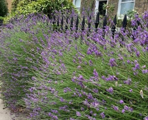 Angel Street Lavender